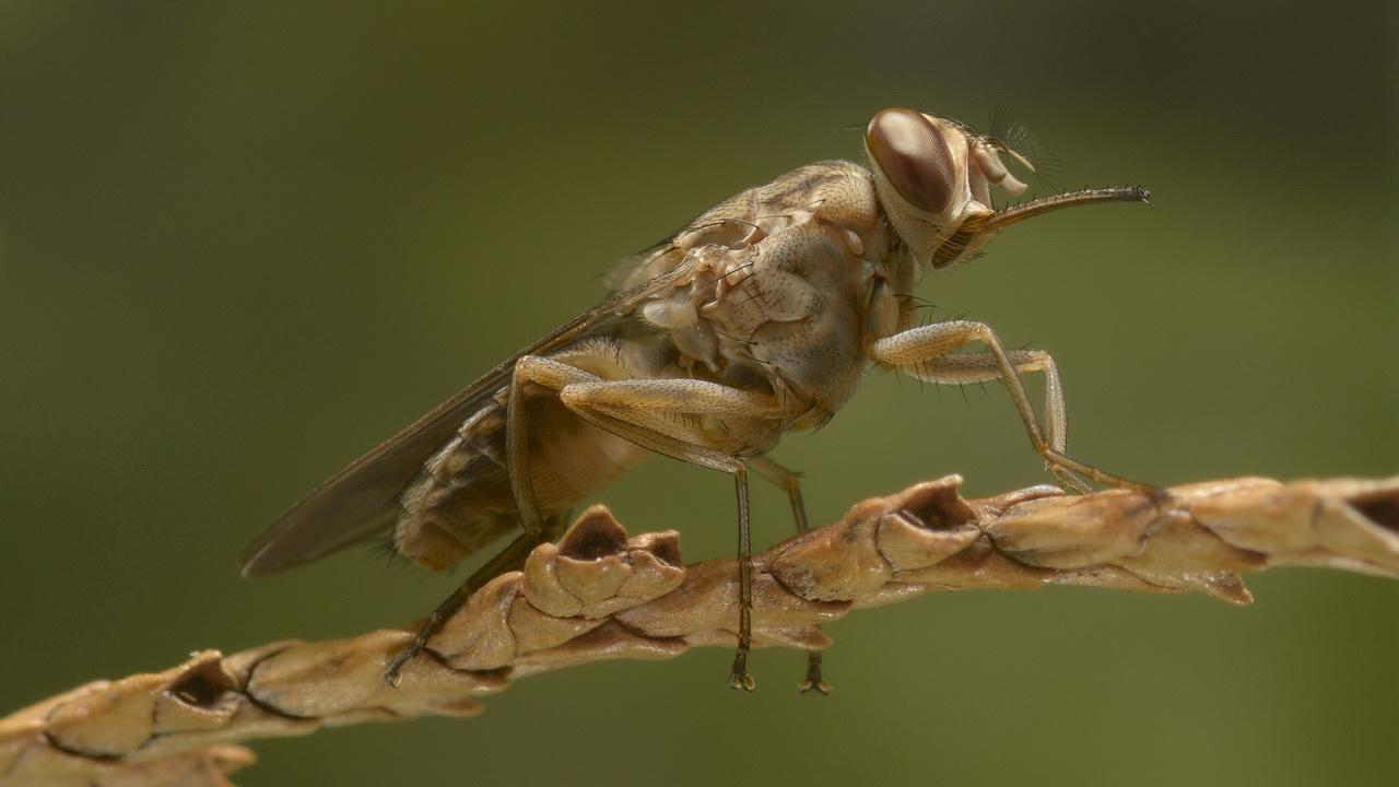 Муха цеце или Glossina palpalis