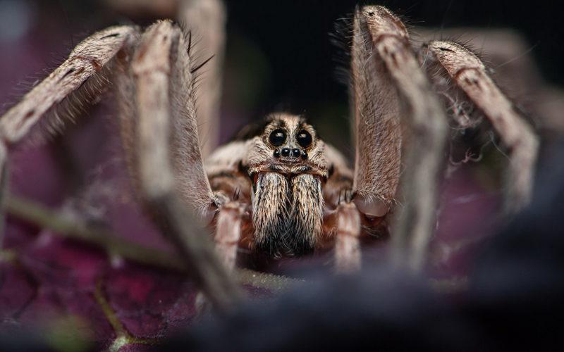 Чем опасен укус тарантула?