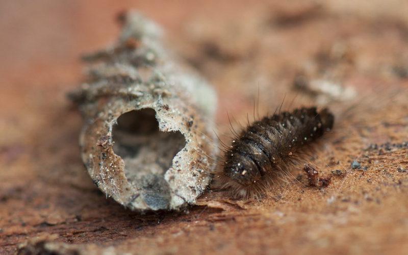 Ковровый кожеед: как Никита Кожемяка, только жук