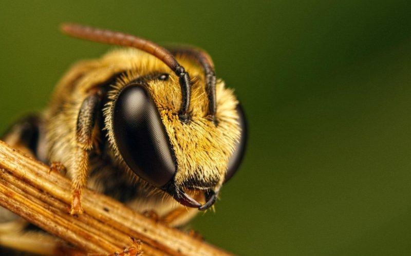 Как избежать укуса пчелы?