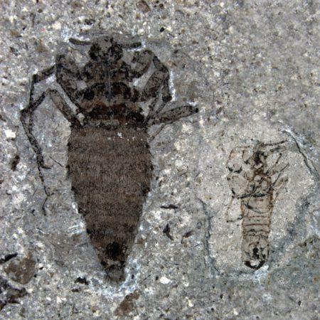 Доисторическая блоха из Юрского периода, слева самка, справа — самец